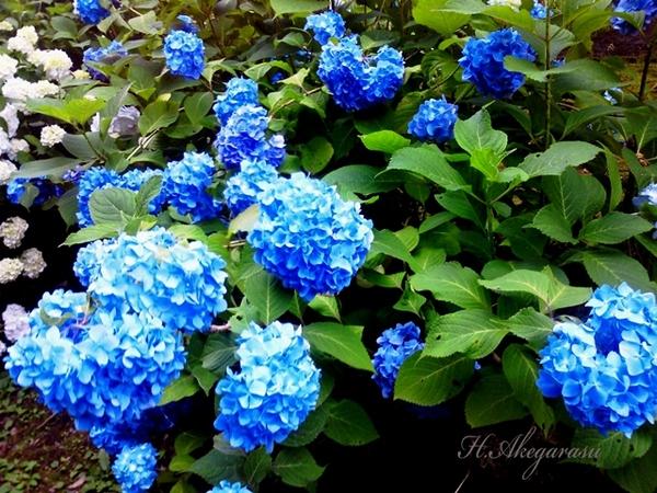 10★紫陽花.jpg