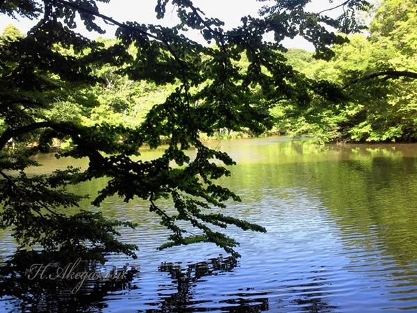 12★カツラの木と池.JPG