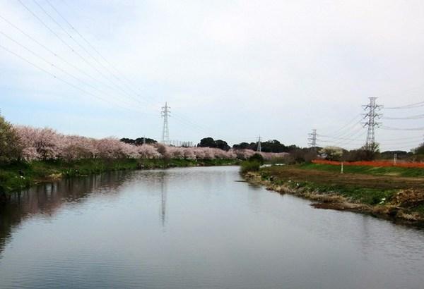 8,河畔の桜並木.jpg