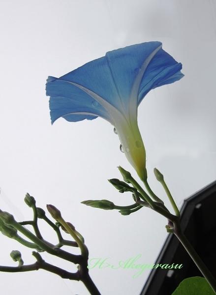 ★13雨の日のヘブンリーブルー.jpg