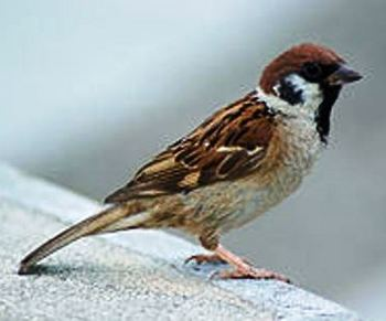 250px-Tree_Sparrow_August_2007_Osaka_Japan[1].jpg